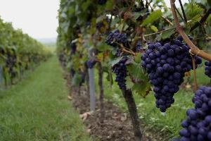 Visiter un vignoble et déguster un vin de Bordeaux à Podensac