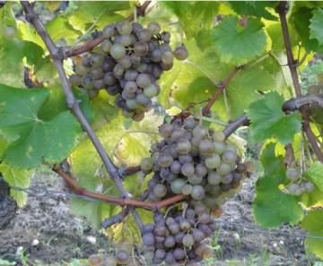 Acheter son vin dans un domaine viticole à Sauterne