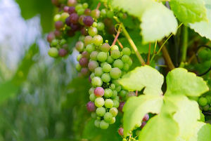 Rencontrer un producteur de vin près de Budos